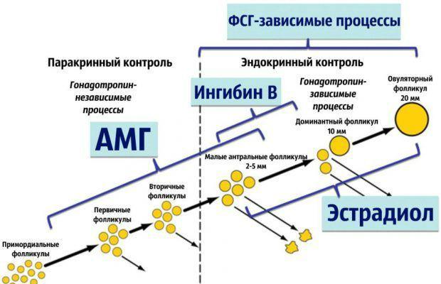 Взаимосвязь АМГ и развития фолликула, созревания яйцеклетки