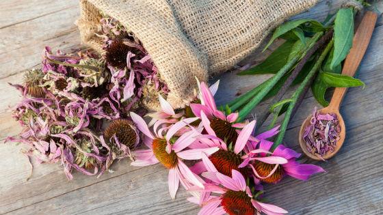 Самостоятельная заготовка цветков эхинацеи