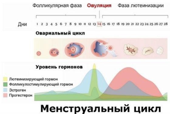Процессы, происходящие на протяжении цикла месячных