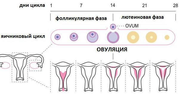 Как меняются фазы менструального цикла