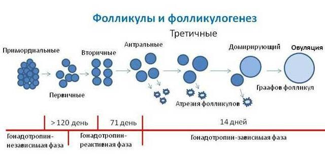 Фолликулогенез на протяжении нескольких циклов