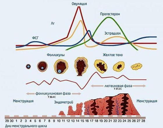 Изменение гормонального фона в течение менструального цикла