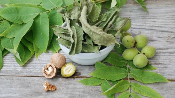 Незрелые орешки содержат большее количество полезных веществ