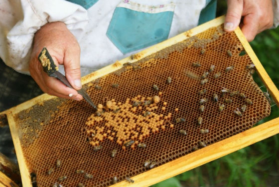 Как добывают пчелиный хлеб