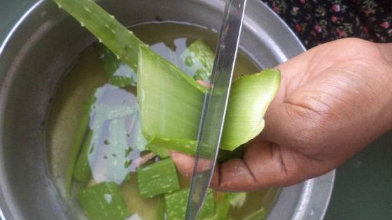 Подготовка листиков алоэ для приготовления лечебных средств