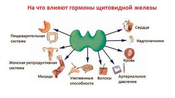 Функции щитовидки в организме