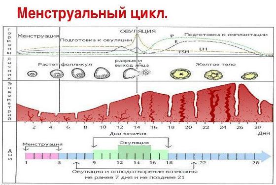 Нормальные двухфазный график менструации