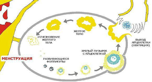 Стадии формирования и регрессии желтого тела