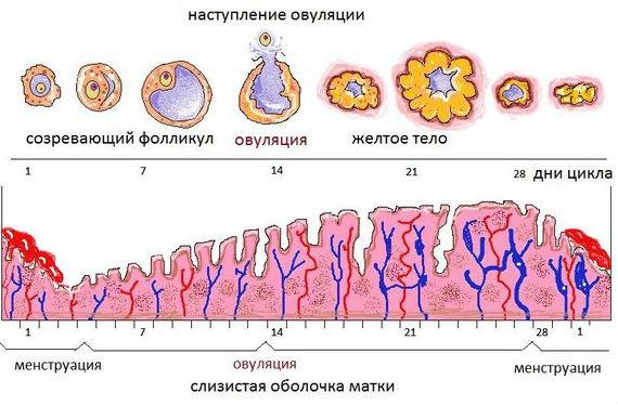 Как происходит выход яйцеклетки и образование желтого тела
