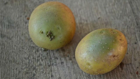 Позеленевшие клубни картофеля