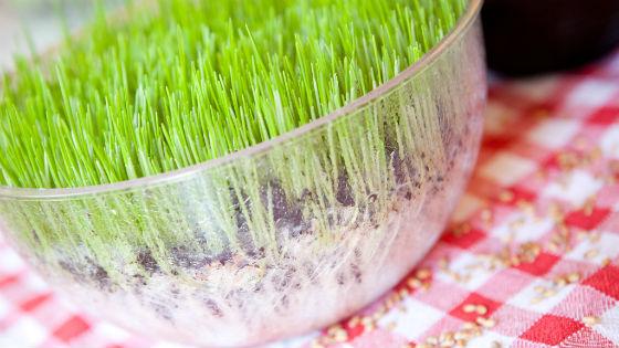 Ростки пшеницы, выращенные дома