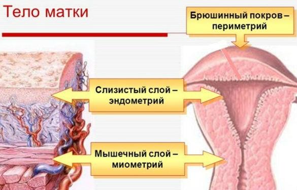 Основные слои маточных оболочек