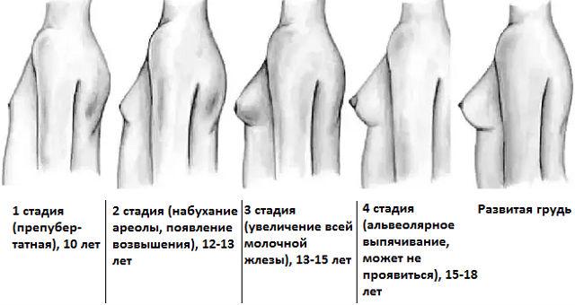 Стадии развития молочных желез