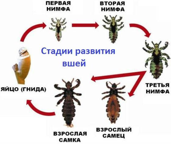 Стадии развития паразитов от гнид до взрослых особей