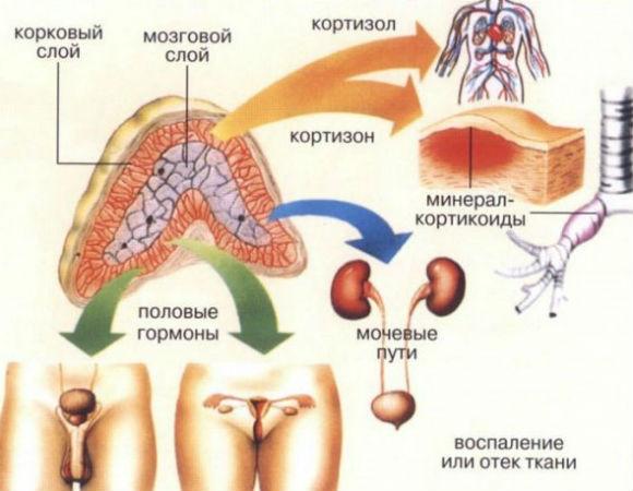 Действие гидрокортизона на системы организма