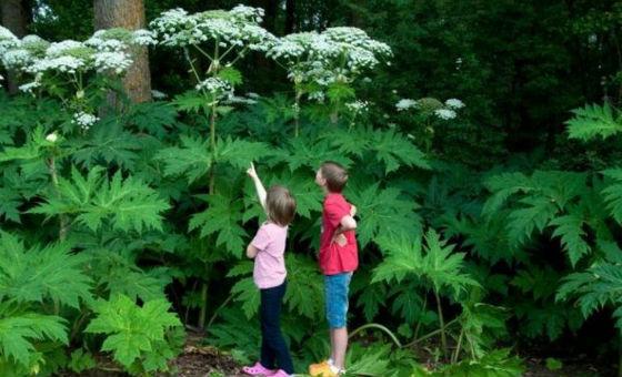 Высота растения может достигать до 3 метров